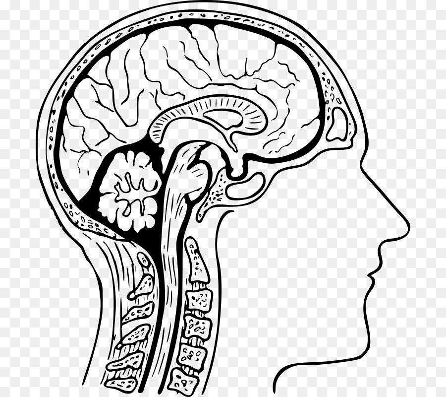 The Human Brain Coloring Book Drawing - Brain png download - 756*800 ...