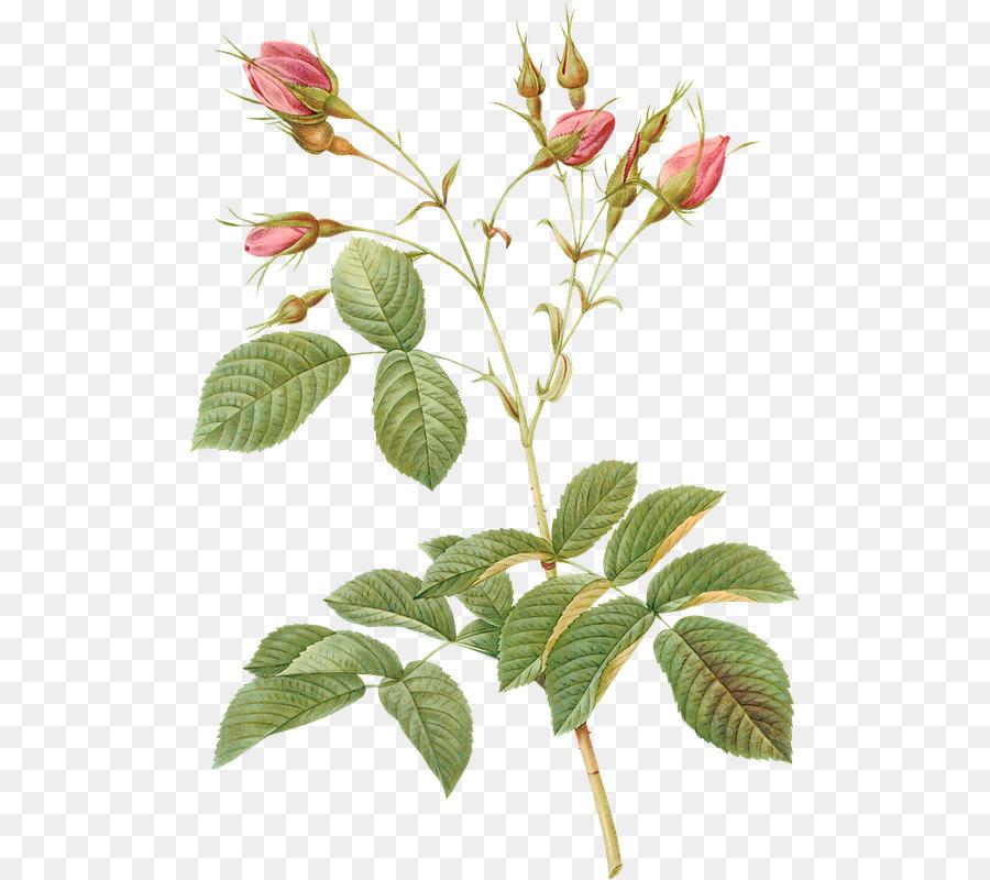 Lahana Gül Les Boyama Botanik Botanik Illüstrasyon Suluboya Güller
