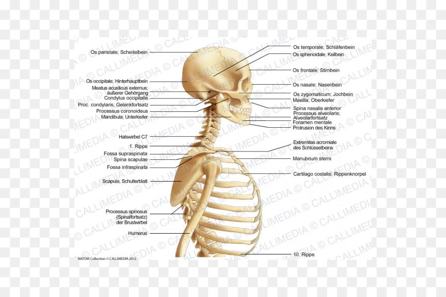 Homo sapiens Muscle Neck Bone Anatomy - organe png download - 600 ...