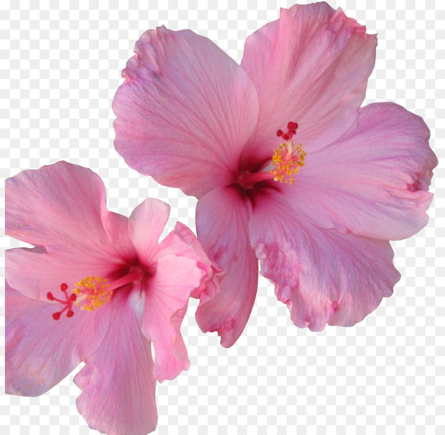 Hibiscus tea flower shoeblackplant flower png download 880880 hibiscus tea flower shoeblackplant flower izmirmasajfo