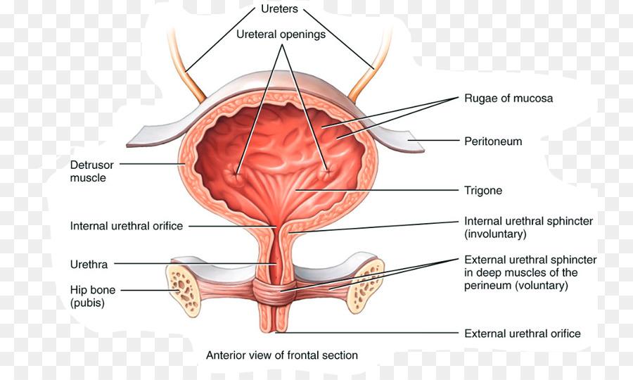 Urinary bladder Anatomy Excretory system Urine Autonomic nervous ...
