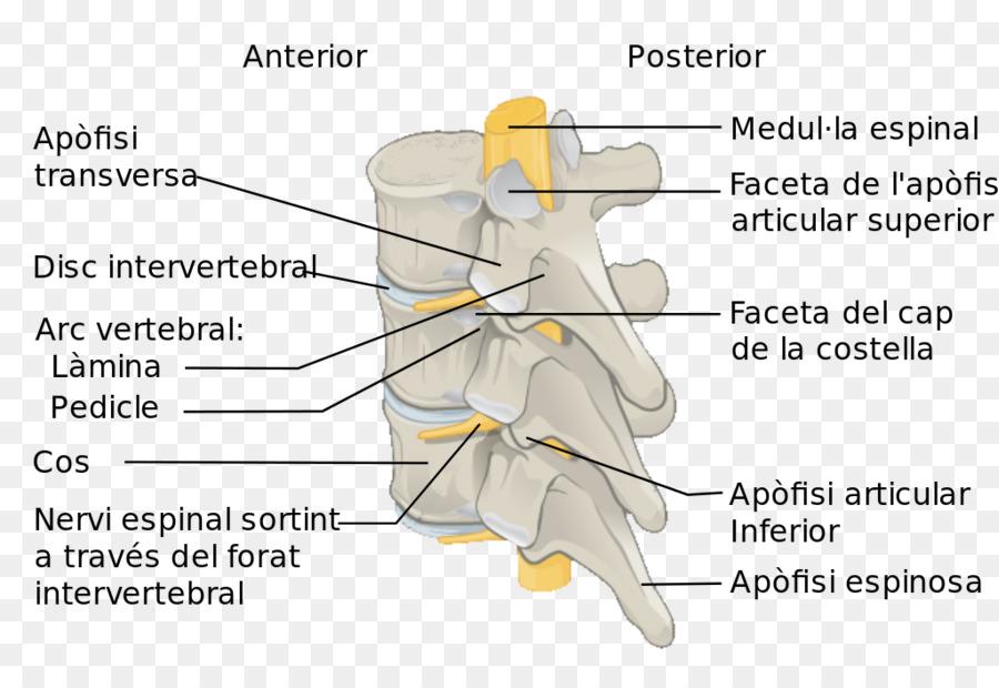 De la columna Vertebral, la médula Espinal de la Anatomía de las ...