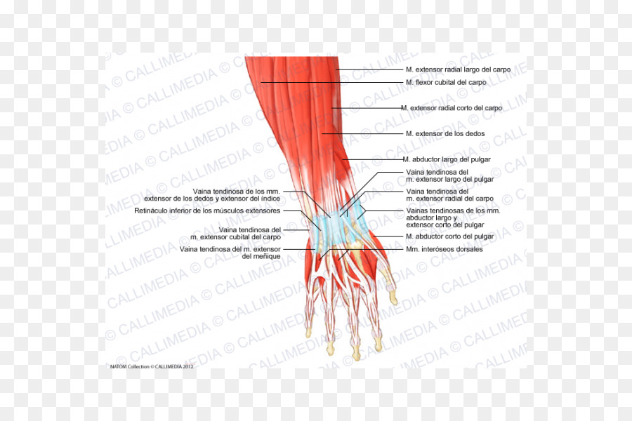 Thumb Muscle Forearm Anatomy Hand - hand png download - 600*600 ...