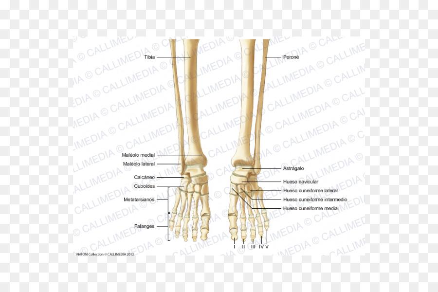Dedo esqueleto Humano Huesos de los Pies de la anatomía Humana ...