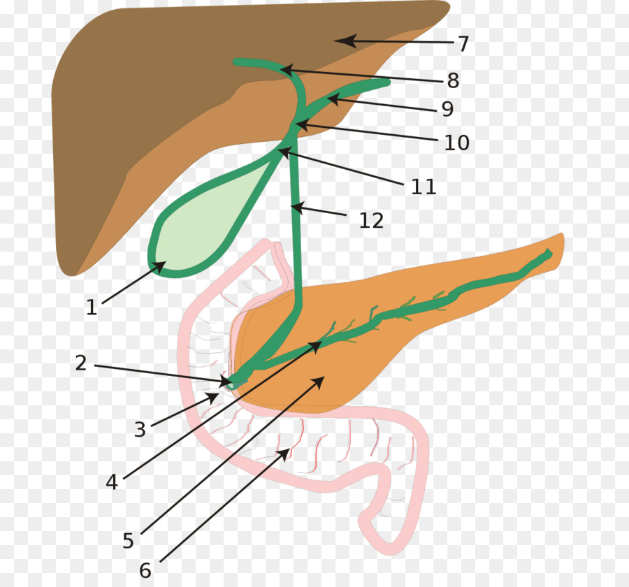 Biliary Atresia Biliary Tract Intrahepatic Bile Ducts Others Png