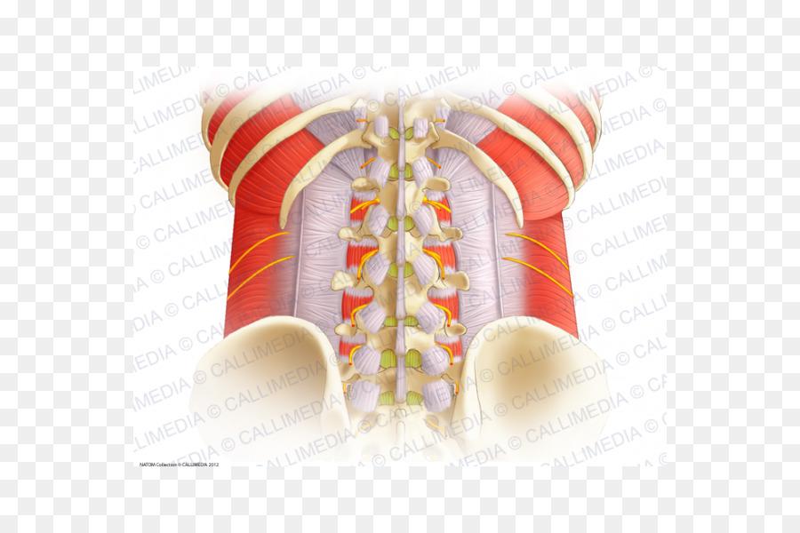 Aponeurosis de la columna Vertebral Toracolumbar la fascia de la ...