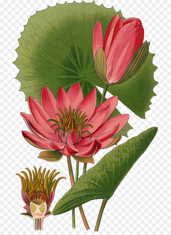 Nymphaea Lotus Egyptian Lotus White Water Lily Botanical