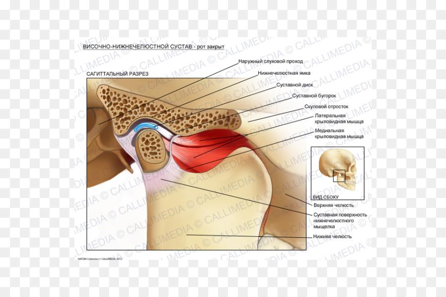 Temporomandibular joint dysfunction Anatomy Lateral pterygoid muscle ...