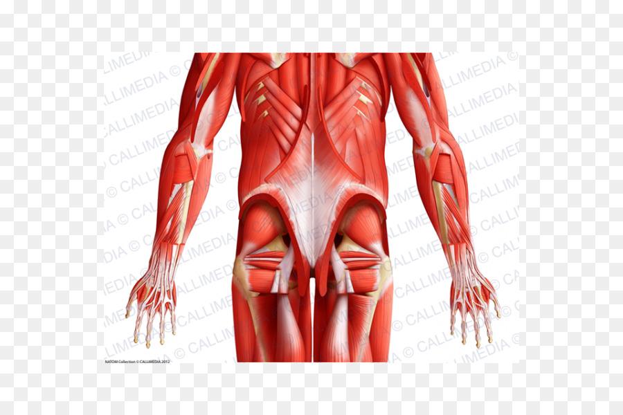 Pulgar Músculo del cuerpo Humano Anatomía de la Pelvis - de la mano ...