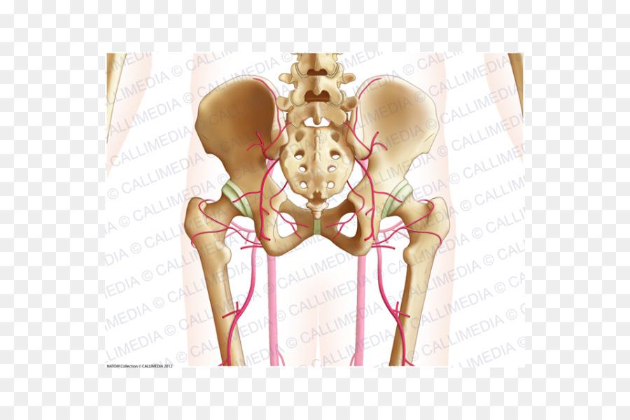 Músculo de la cadera Hombro Humanos de la anatomía del sistema ...