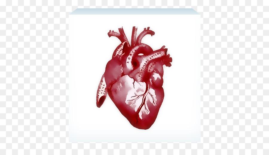 Anatomía humana, Corazón de la caja torácica - corazón Formatos De ...