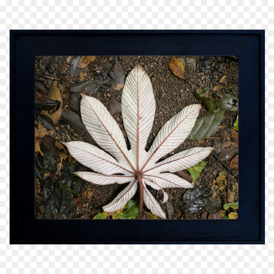 Cannabis Leaf Background png download - 1000*1000 - Free