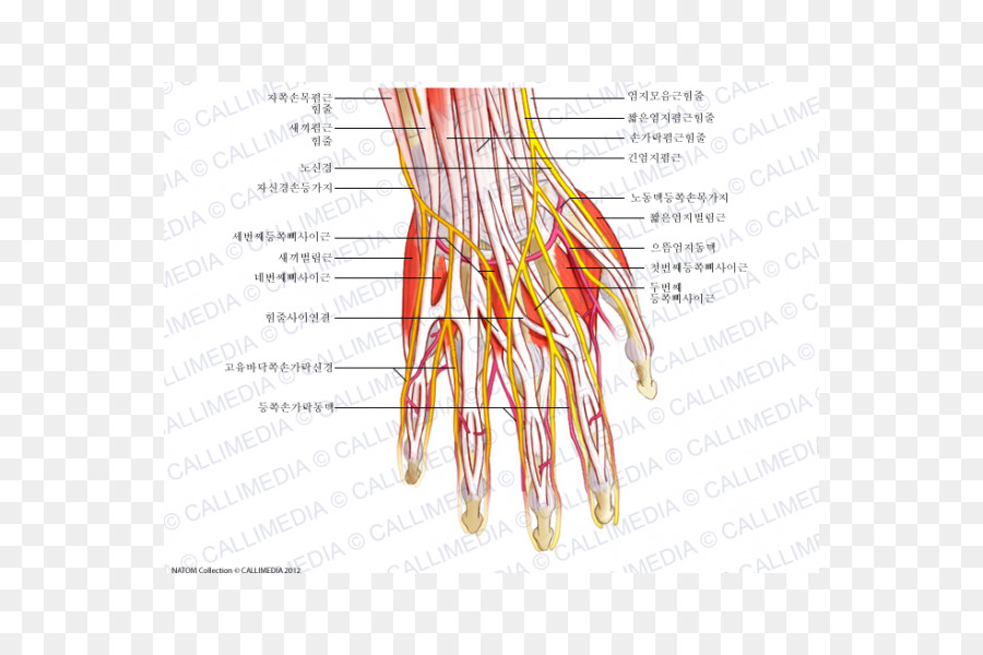 Nerve Hand Muscle Nervous system Human anatomy - hand png download ...