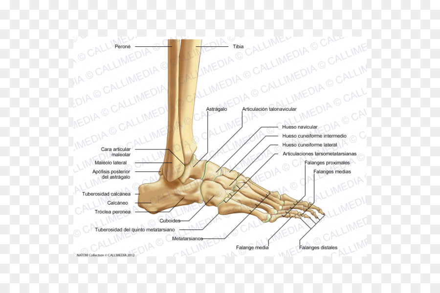 Thumb Bone Human Skeleton Tibia Foot Calcaneus Png Download 600