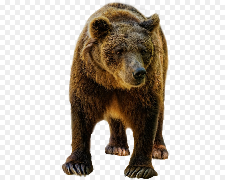 Grizzly bear American black bear Deer Bear dog - bear Formatos De ...