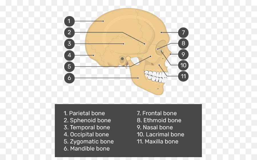 Skull Bone Anatomy Teres Major Muscle Skull And Bone Png Download