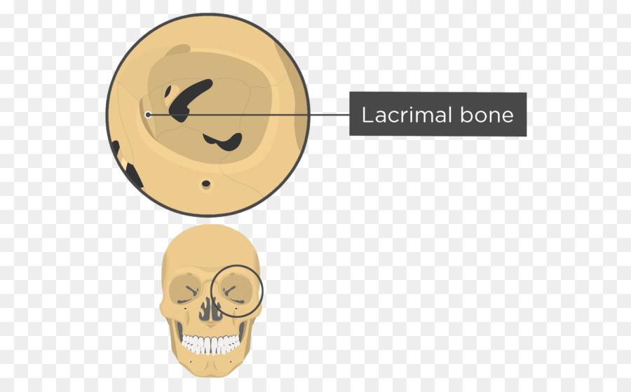 La órbita de Cráneo esqueleto Humano de la Anatomía del hueso ...