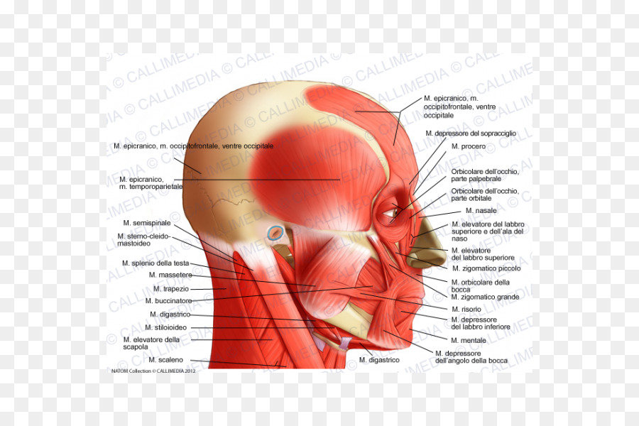 Temporoparietalis muscle Head and neck anatomy Lateral rectus muscle ...