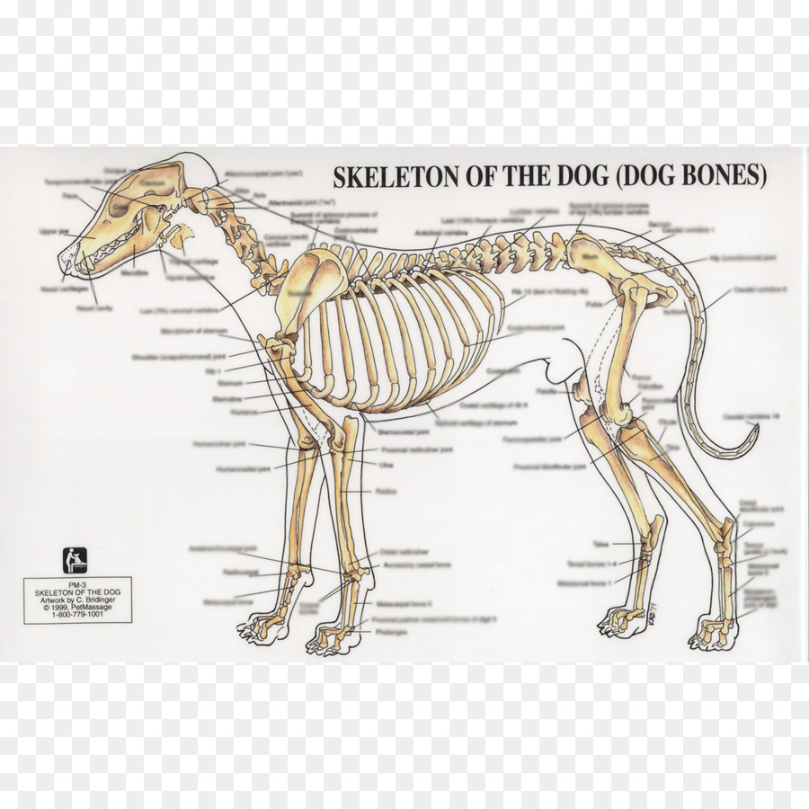 Dog anatomy Human skeleton Joint - Dog png download - 1224*1224 ...