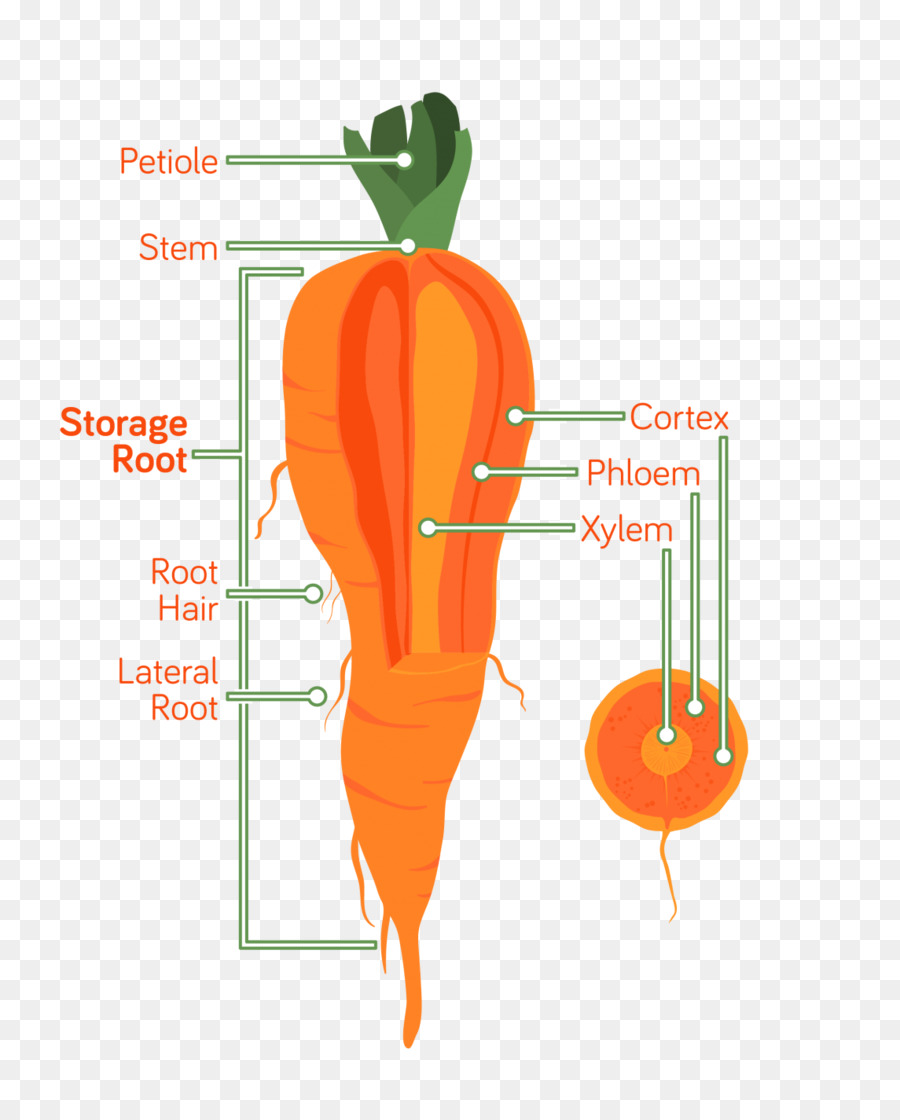 Carrot Root Anatomy Vegetable Xylem Carrot Png Download 1145