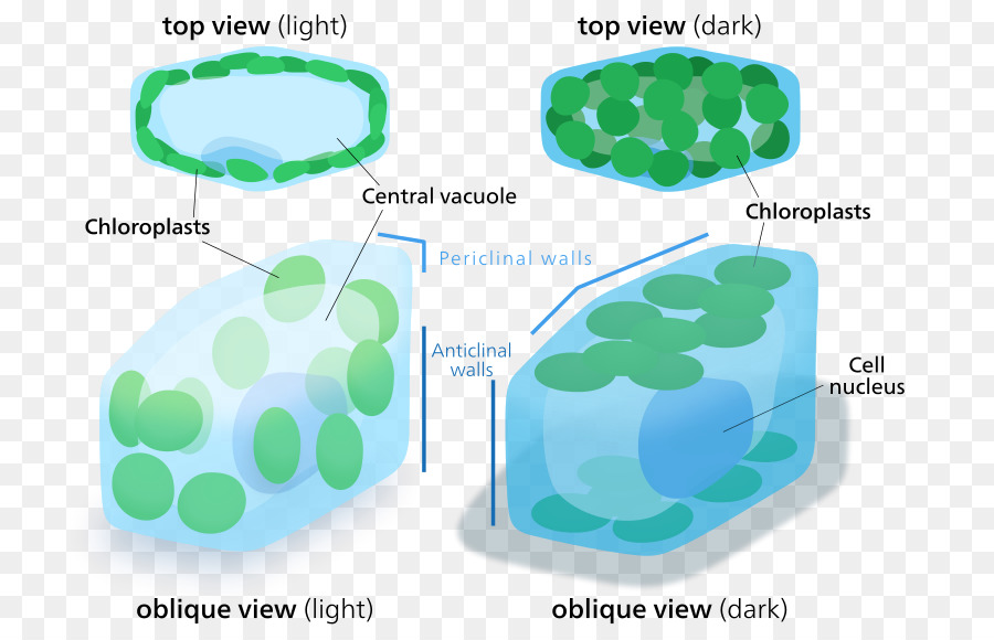 Chloroplast plant cell organelle plant png download 800574 chloroplast plant cell organelle plant ccuart Image collections
