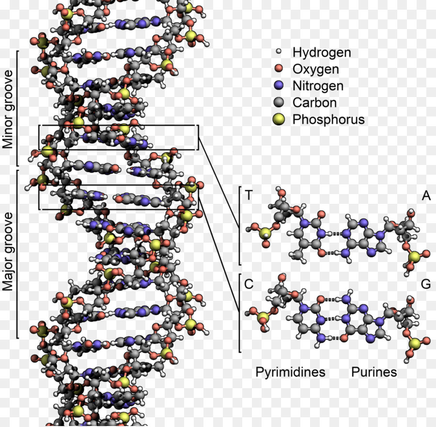 the role of james watson in the discovery of the structure of dna deoxyribose nucleic acid Dna is a nucleic acid composed of nitrogenous bases (adenine, cytosine, guanine, and thymine), a five-carbon sugar (deoxyribose), and phosphate molecules the nucleotide bases of dna represent the stair steps of the staircase, and the deoxyribose and phosphate molecules form the sides of the staircase.