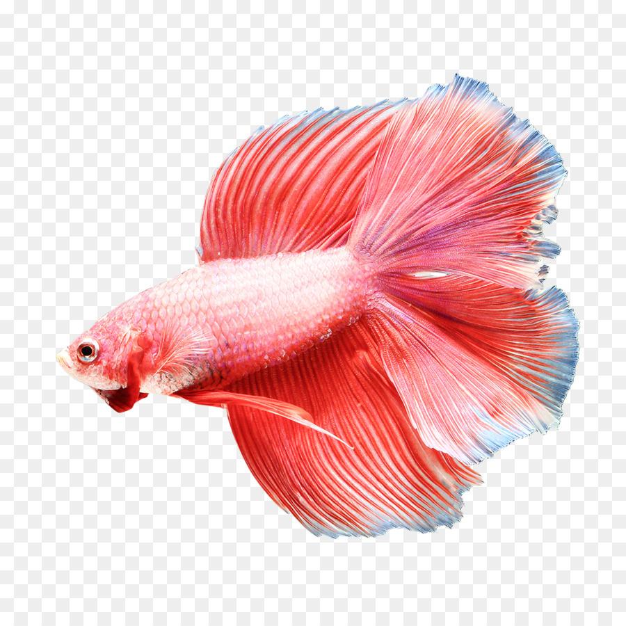 Siamese Fighting Fish Goldfish Aquarium Fish Feed Eating Fish Png