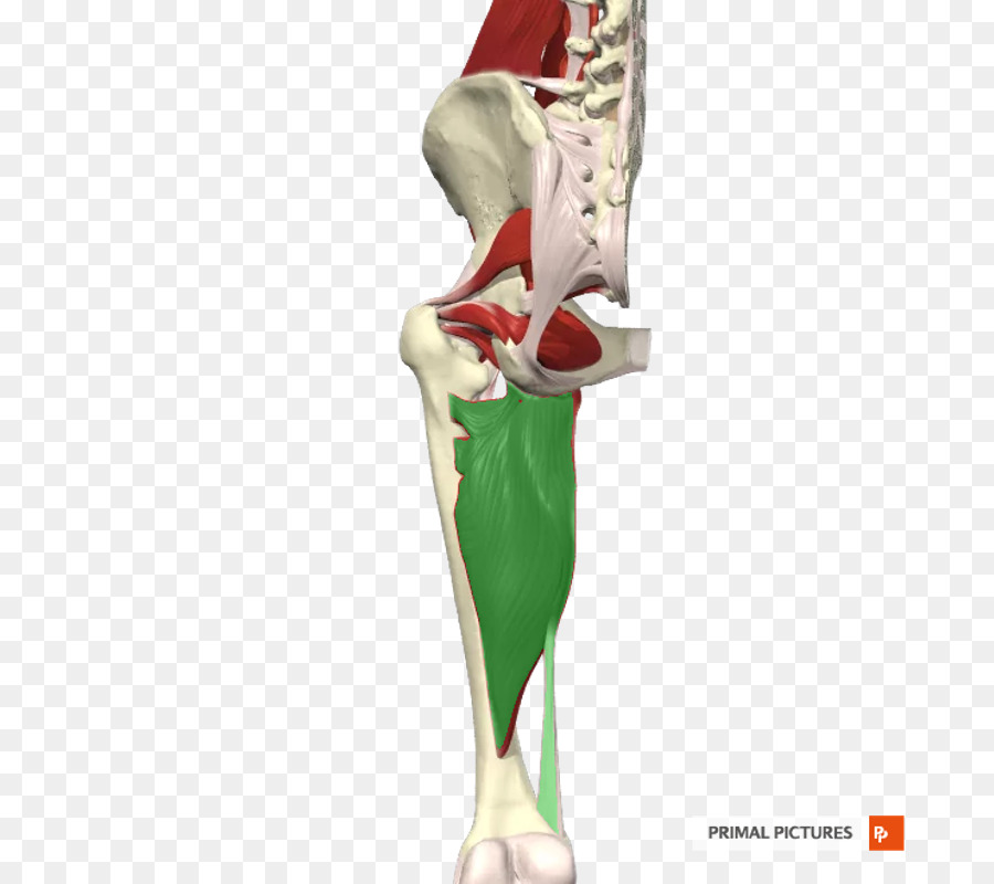 Hip Figurine Knee Shoulder Kbr Gracilis Muscle Png Download 800
