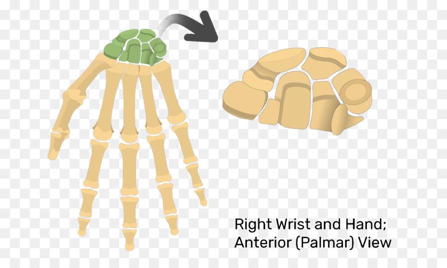 Phalanx Bone Carpal Bones Triquetral Bone Anatomy Scaphoid Bone