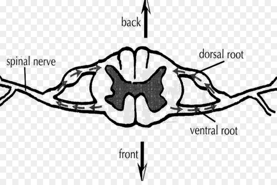 Ventral Root Of Spinal Nerve Dorsal Root Of Spinal Nerve Spinal Cord