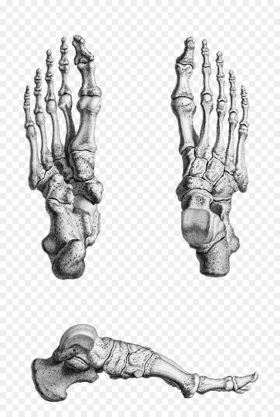 Thumb Human Skeleton Grays Anatomy Foot Skeleton Png Download