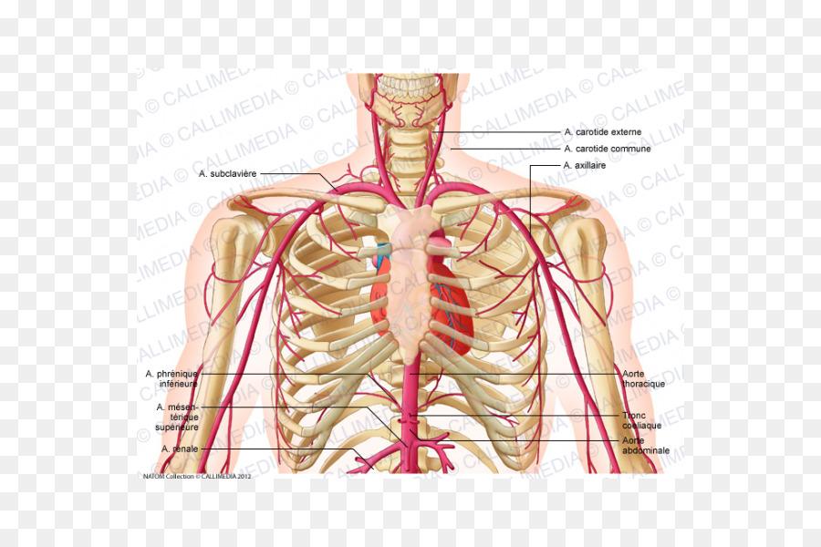 Supratrochlear Artery Head And Neck Anatomy External Carotid Artery