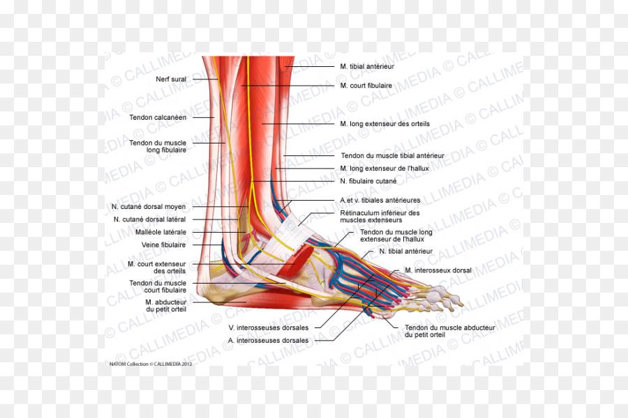 Músculo del pie Peroneus longus la Anatomía de los Nervios - las ...