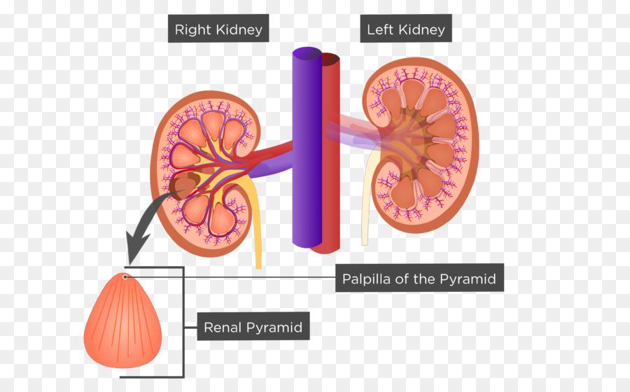 Kidney Renal sinus Renal pyramids Anatomy Excretory system - Renal ...