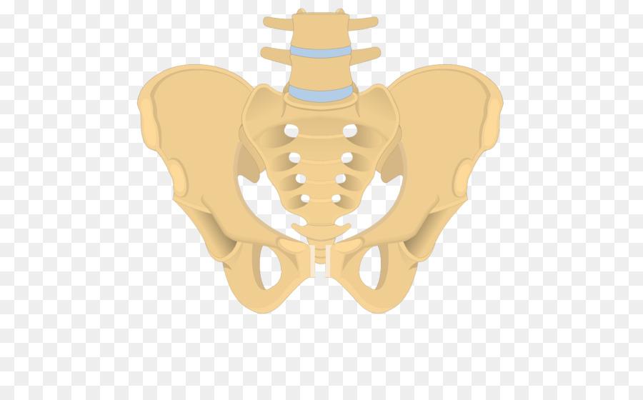 Hip bone Sacrum Obturator foramen Anatomy - Sacrum png download ...