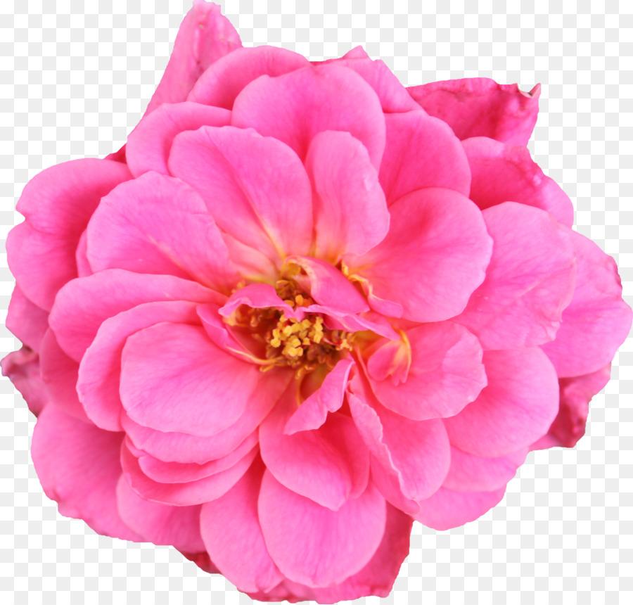 Jardin Des Roses De Chou Rose Fleurs Coupees Floribunda Mexicaine