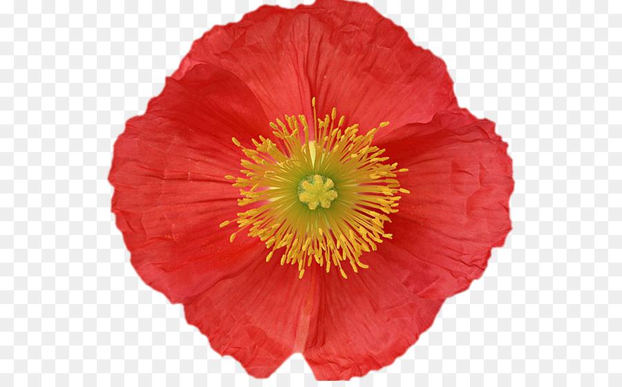 Poppy flower ducation canine 31 plant flower png download 594 poppy flower ducation canine 31 plant flower mightylinksfo