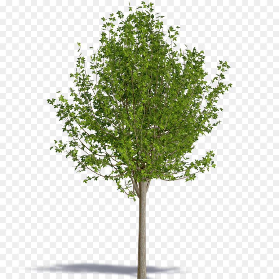 Tree Royalty Free Acer Negundo Png Download 10001000 Free