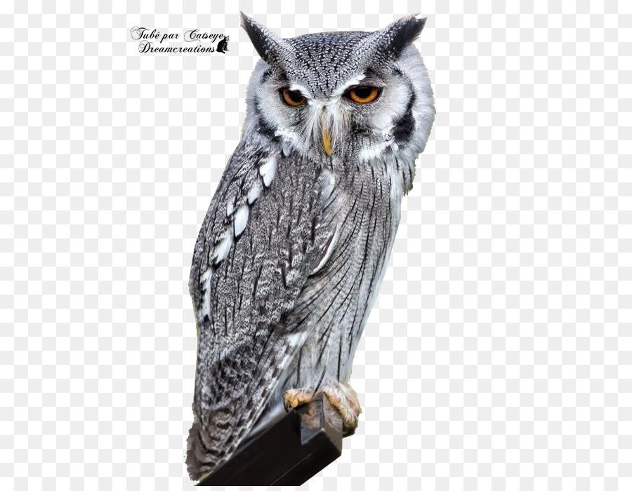 740+ Foto Gambar Burung Hantu Barn Owl HD Paling Keren Free