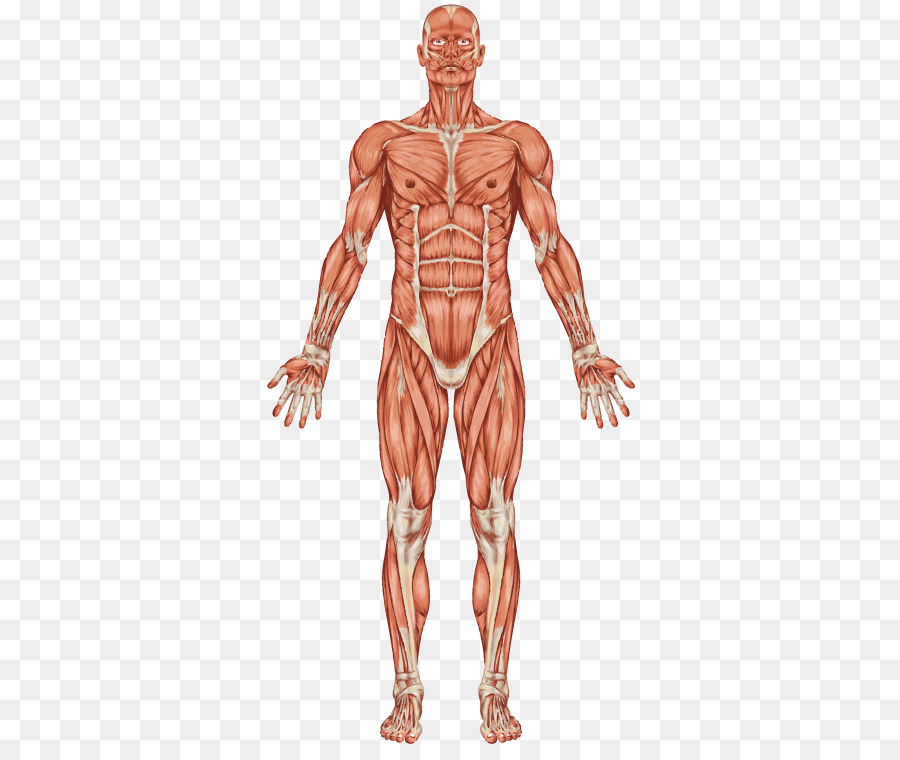 The Muscular System Human body Muscle Human skeleton - others ...