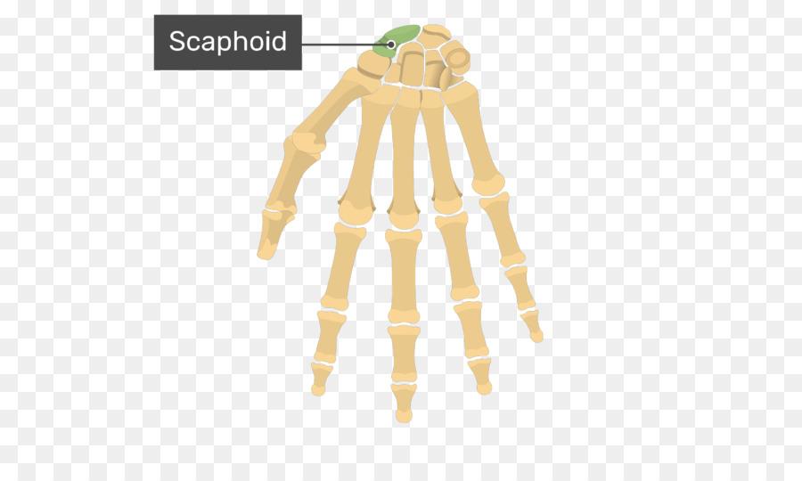 Metacarpal bones Anatomy Human body Hand - hand Formatos De Archivo ...