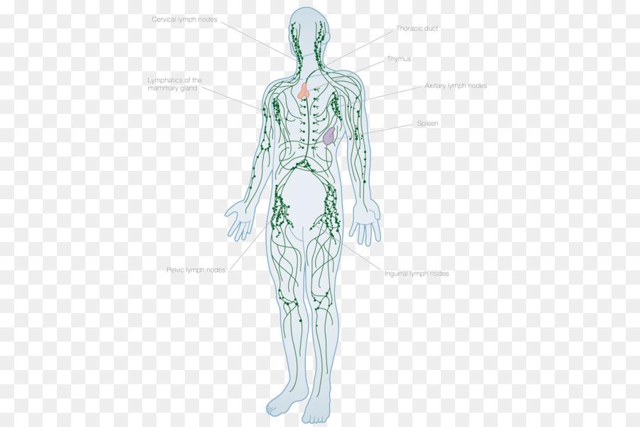Lymphatic system Human body Lymph node Anatomy Lymphatic vessel ...