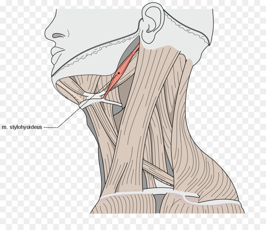 Sternocleidomastoid muscle Omohyoid muscle Human body Neck - others ...