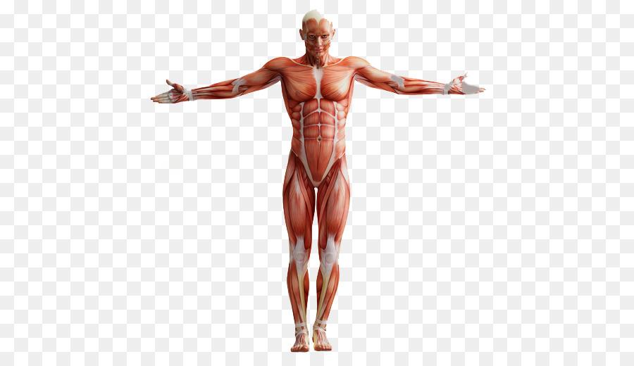Una de ANATOMIA TERMINAR Después de la anatomía del sistema Muscular ...