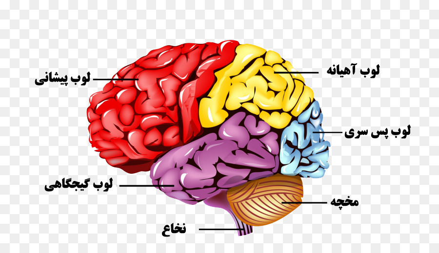 Human Brain Nervous System Human Body Anatomy Brain Png Download