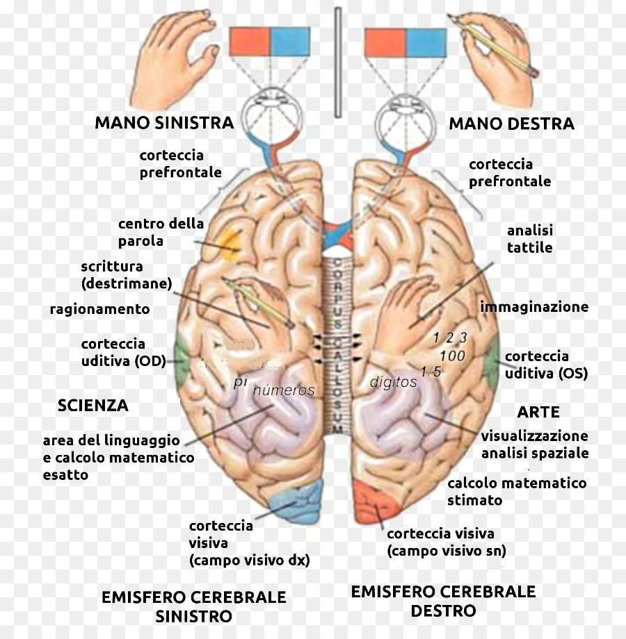 Lateralization of brain function Cerebral hemisphere Human brain ...