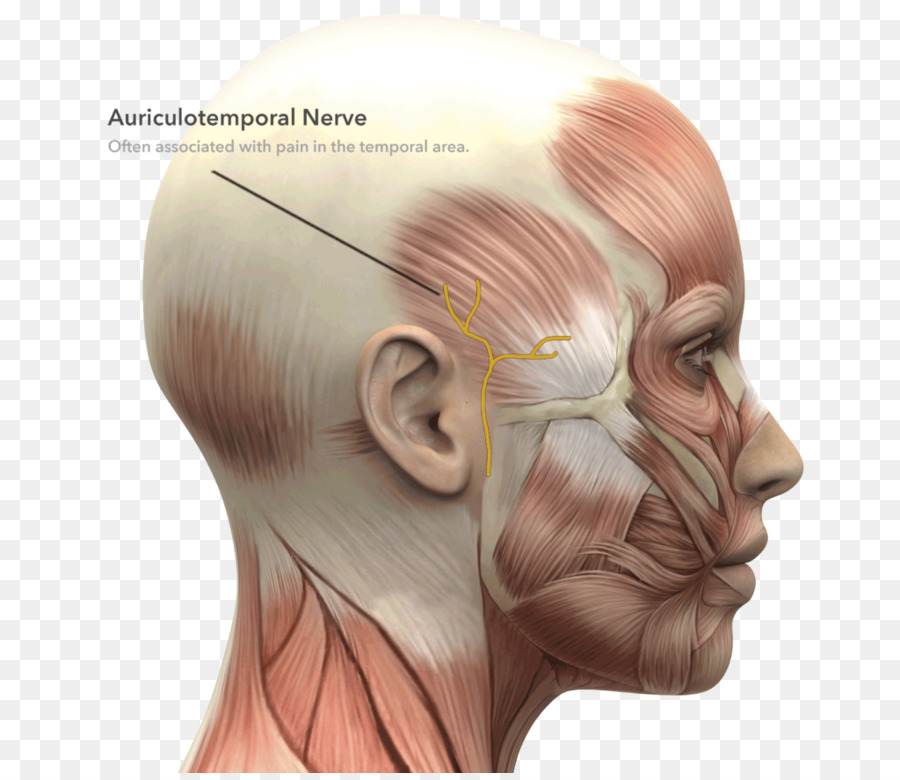 Facial Muscles Face Anatomy Facial Nerve Face Png Download 1024