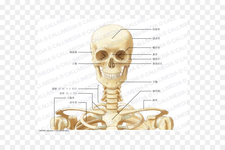 Human Anatomy Neck Bone Coronal Plane Skeleton Png Download 600