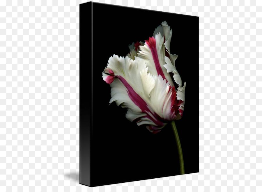 La Fleur Rose De L Ampoule De La Graine De La Plante Tulipe