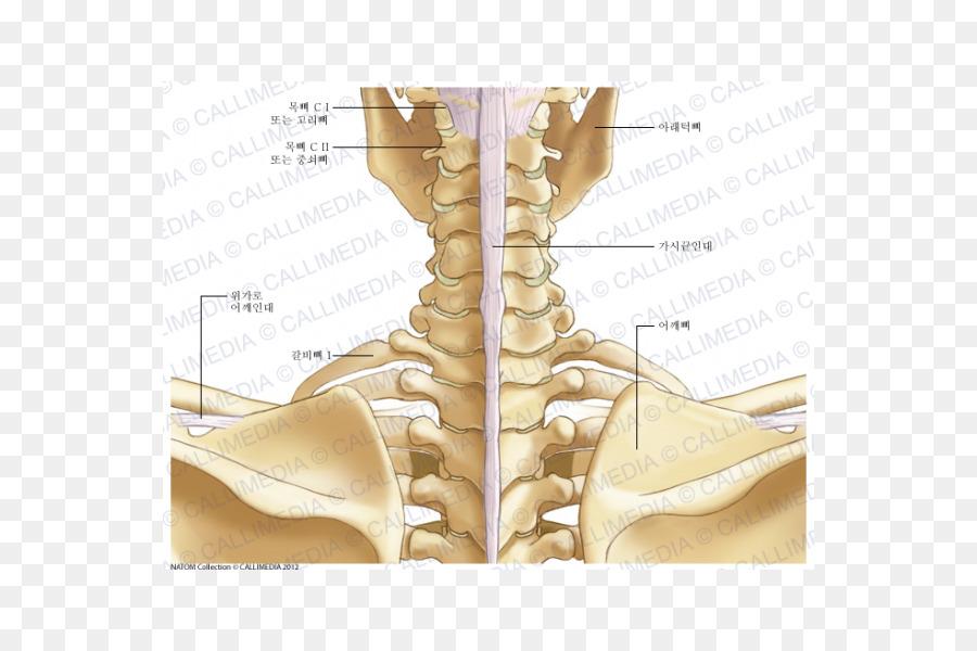 Finger Neck Ligament Bone Anatomy Others Png Download 600600